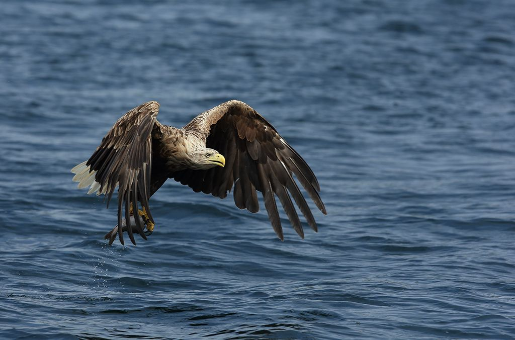 White tailed sea eagle (17)