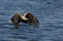 White tailed sea eagle (17)