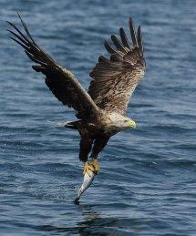 White tailed sea eagle (18)