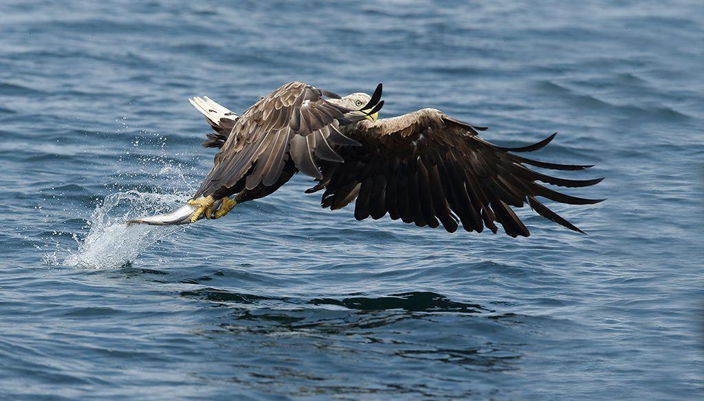White tailed sea eagle (2)
