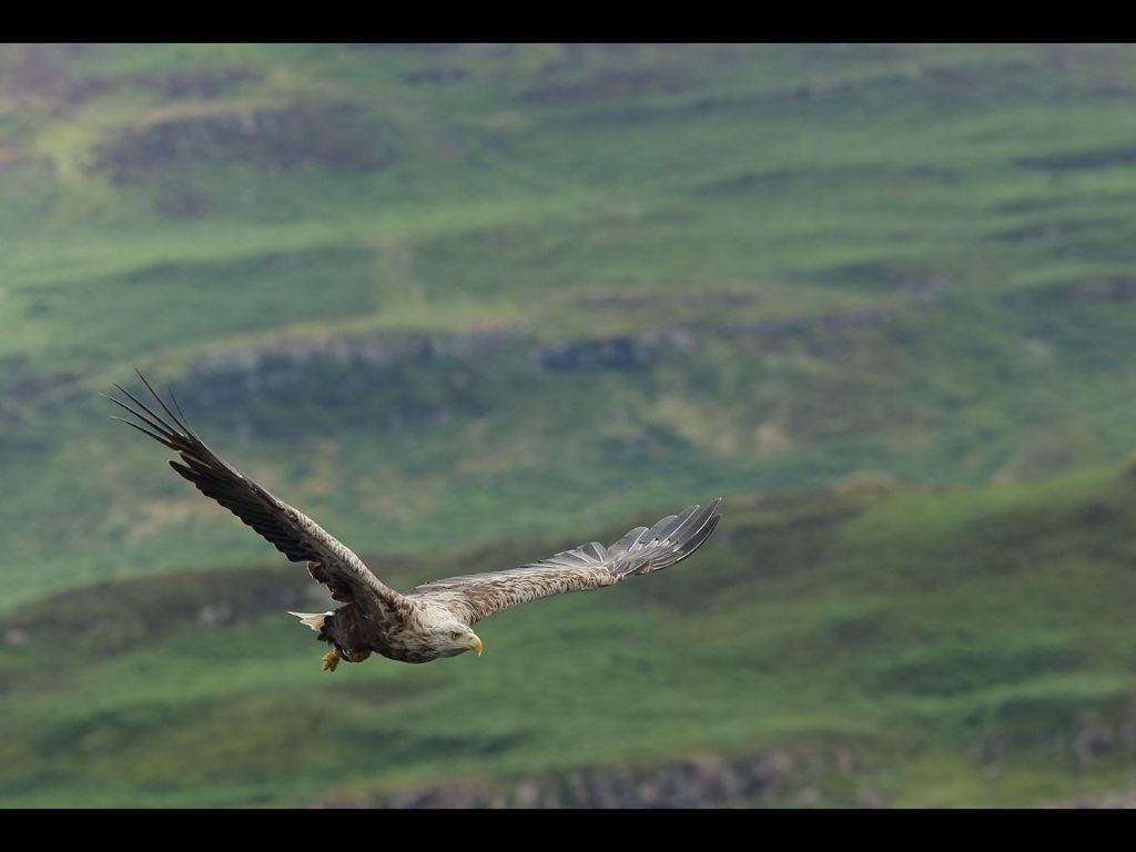 White tailed sea eagle (3)