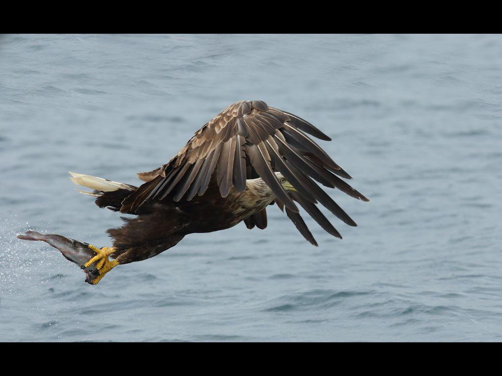 White tailed sea eagle (4)