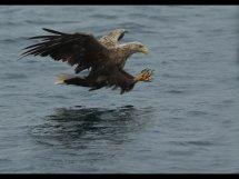 White tailed sea eagle (5)