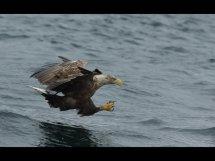 White tailed sea eagle (8)