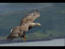 White tailed sea eagle (9)