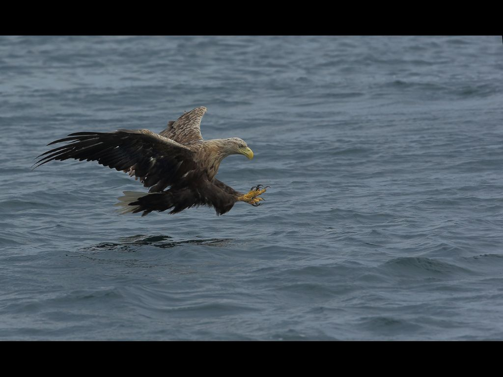 White tailed seas eagle