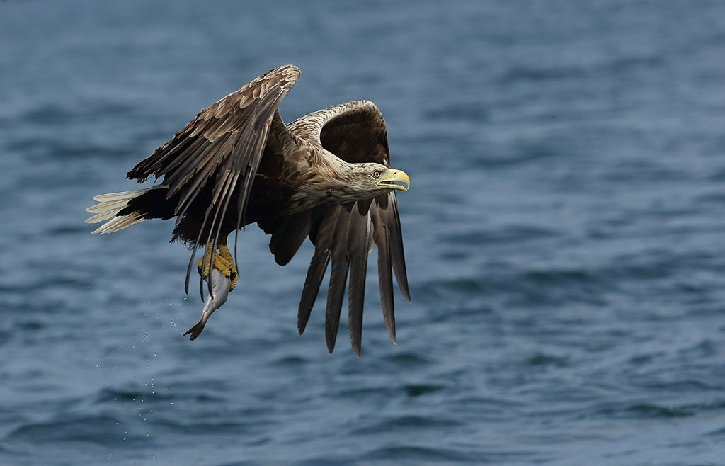 White tailed seas eagle (2)