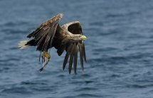 White tailed seas eagle (2)