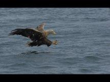 White tailed seas eagle