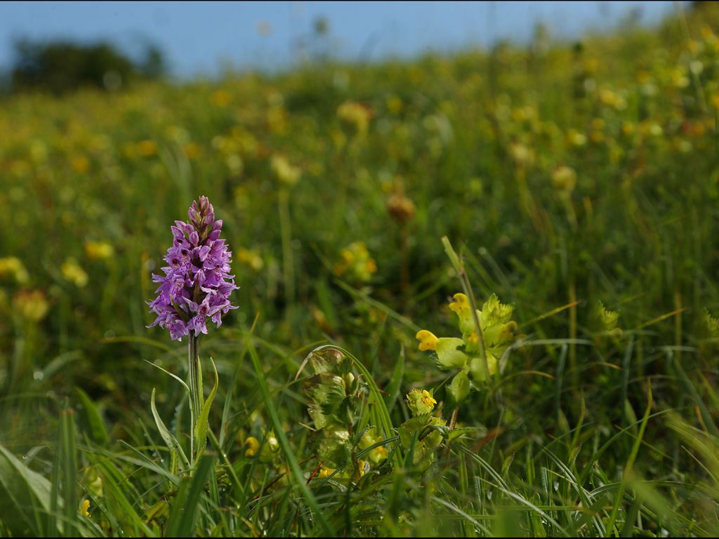 Wild orchid field (2)