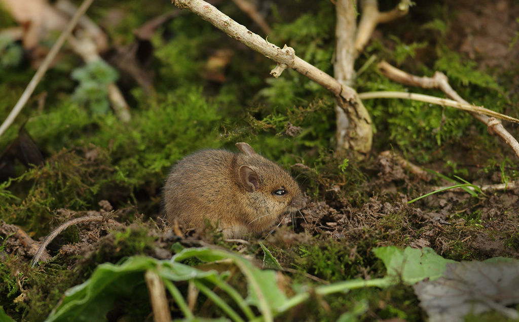 Wood Mouse 4