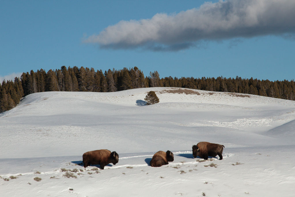 Yellowstone Bison.