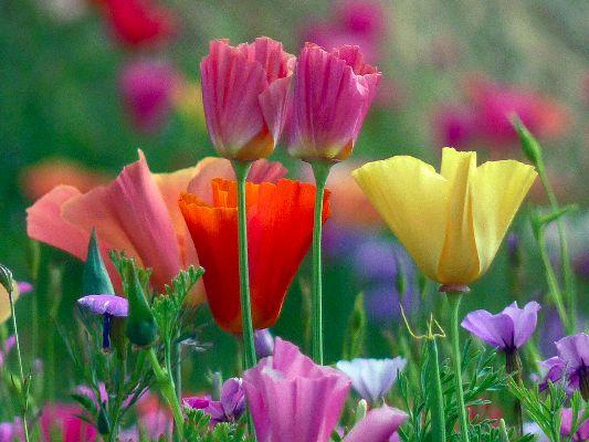 Garden House Poppies 2
