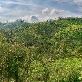 Tea in the Western Ghats