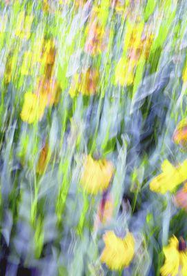 3 - Tulip Dream