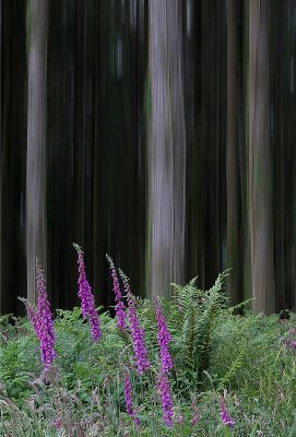 5 - Foxgloves and Pine Trunks