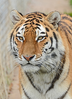 Mrs Tiger
