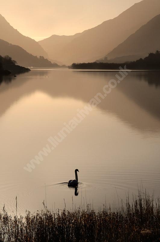 Alarch Llyn Padarn swan