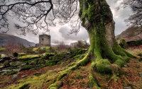 Coeden Castell Dolbadarn Tree