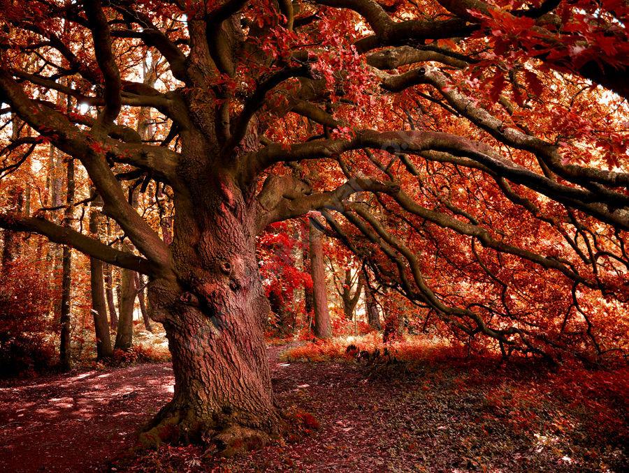 Y Goeden Goch / The Red Tree