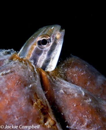 Blenny, Lembeh, Indonesia