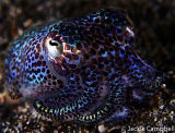 Bob Tail Squid, Lembeh, Indonesia