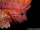 Cockatoo wasp fish, Indonesia