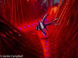 Juvenile Banggai Cardinalfish in a Fire Urchin, Indonesia