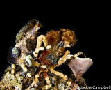 Decorator Crab Couple