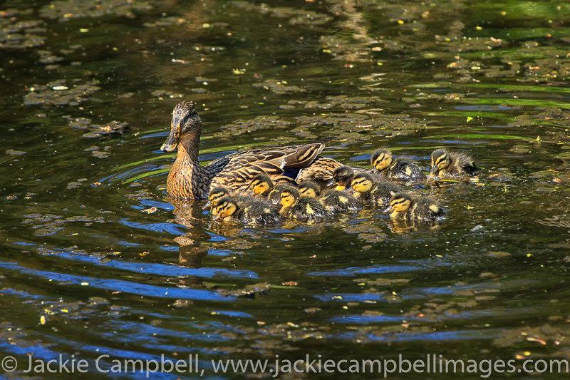 Female mallard duck with ten ducklings
