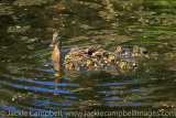 Female mallard duck with ten ducklings