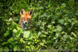 Fox in the nettles