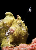 Painted Frogfish using its lure, Indonesia