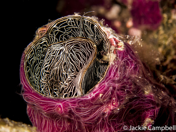 Grand Coral Worm Shell, Raja Ampat, Indonesia