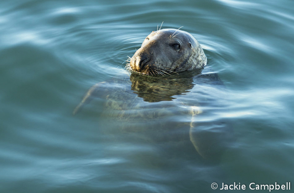 Grey Seal, Dublin, Ireland