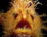 Hairy Frogfish, Lembeh, Indonesia