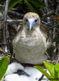 Red footed Booby with Chick, Galapagos Islands