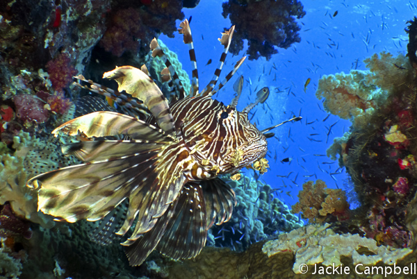 Lionfish, Red Sea, Sudan