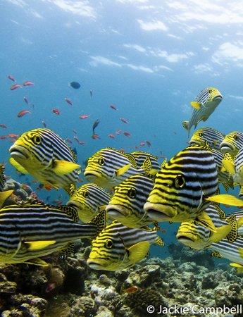Oriental sweetlips, Maldives