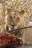 Lion at a kill, Botswana