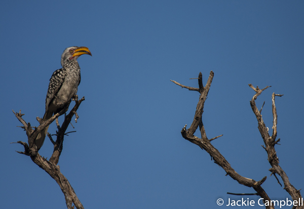 African Yellow Billed Hornbill, Botswana
