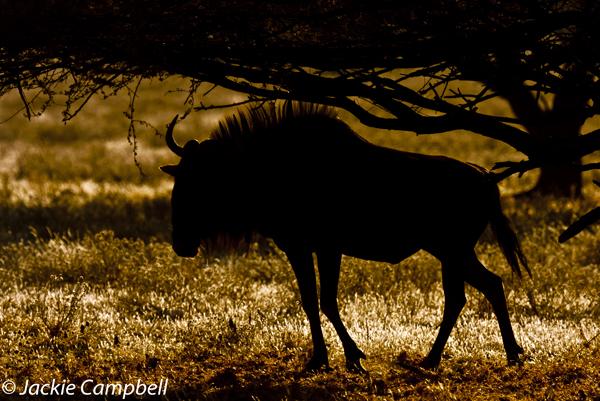 Wildebeast, Botswana