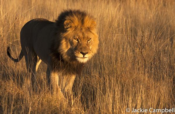 Lion in the morning light, Botswana