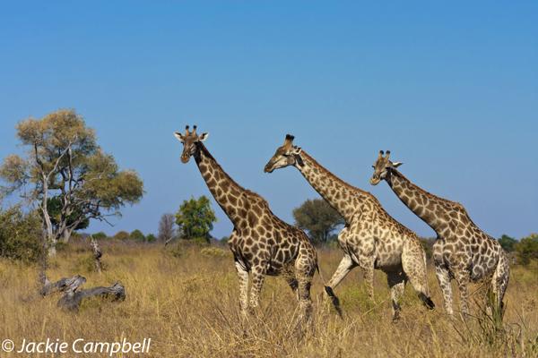Giraffes, Botswana