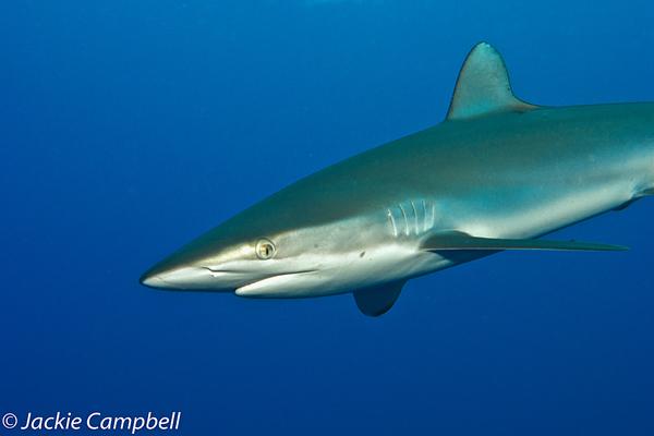 Silky Shark, Red Sea, Sudan