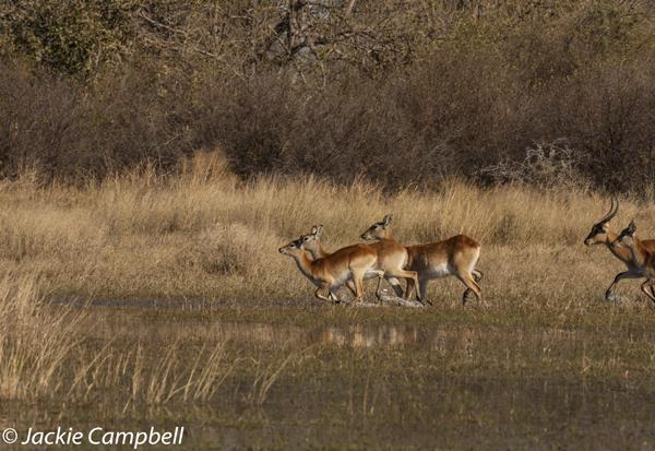 Lechwe, Botswana