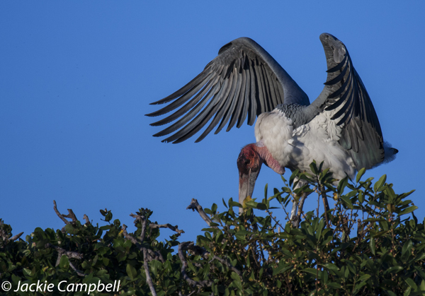 Marrabou Stork, Botswana