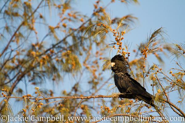 Black Cockatoo, Australia