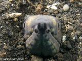 Snake eel, Indonesia
