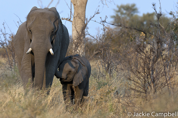 Elephant mother and baby, Botswana